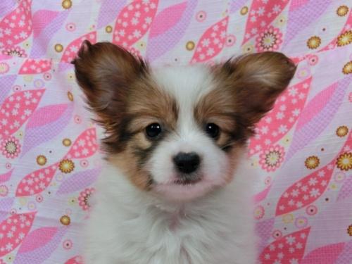 パピヨンの子犬(ID:1244711381)の1枚目の写真/更新日:2017-03-07