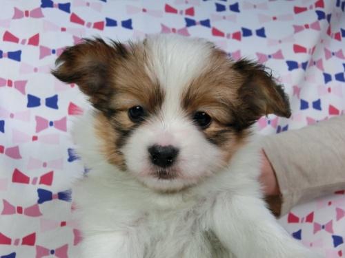 パピヨンの子犬(ID:1244711382)の1枚目の写真/更新日:2017-02-24