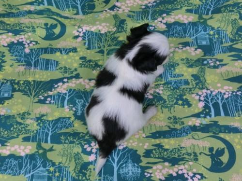 パピヨンの子犬(ID:1244711384)の4枚目の写真/更新日:2017-02-08