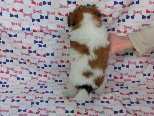 パピヨンの子犬(ID:1244711386)の4枚目の写真/更新日:2017-02-24
