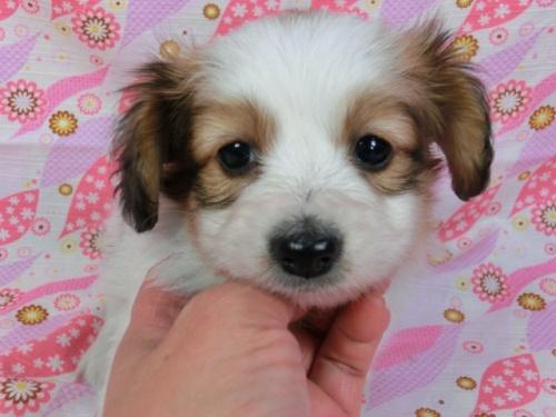 パピヨンの子犬(ID:1244711388)の1枚目の写真/更新日:2017-03-07