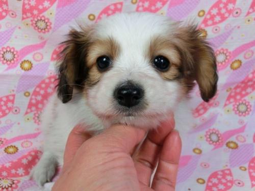 パピヨンの子犬(ID:1244711388)の2枚目の写真/更新日:2017-03-07