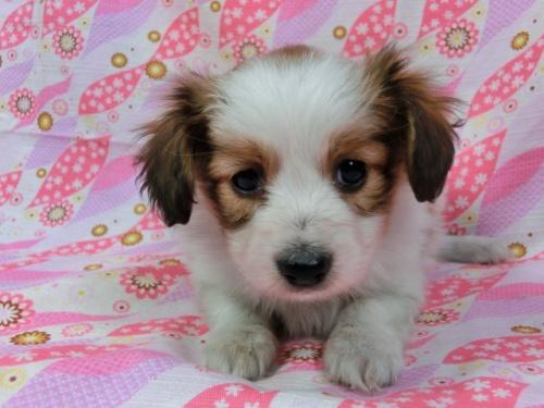 パピヨンの子犬(ID:1244711388)の3枚目の写真/更新日:2017-03-07