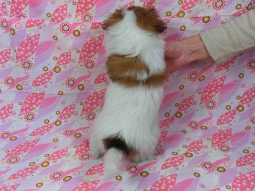 パピヨンの子犬(ID:1244711388)の4枚目の写真/更新日:2017-03-07