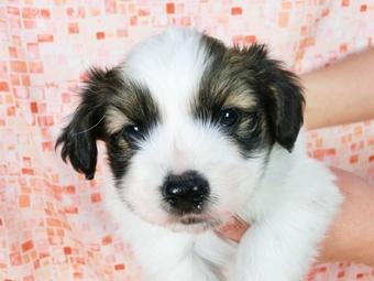 パピヨンの子犬(ID:1244711389)の1枚目の写真/更新日:2017-03-01