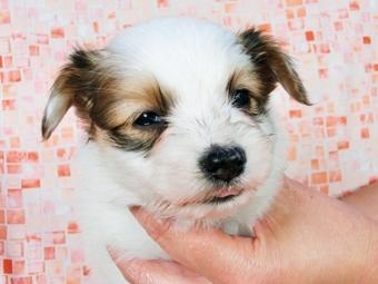 パピヨンの子犬(ID:1244711390)の3枚目の写真/更新日:2017-03-01