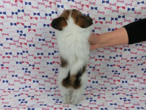 パピヨンの子犬(ID:1244711391)の4枚目の写真/更新日:2017-03-10