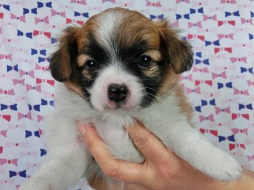 パピヨンの子犬(ID:1244711392)の2枚目の写真/更新日:2017-03-10