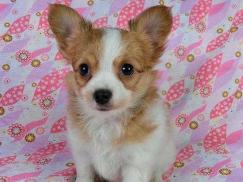 パピヨンの子犬(ID:1244711394)の1枚目の写真/更新日:2017-03-10