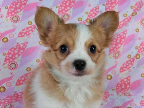 パピヨンの子犬(ID:1244711394)の2枚目の写真/更新日:2017-03-10