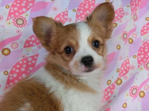 パピヨンの子犬(ID:1244711394)の3枚目の写真/更新日:2017-03-10