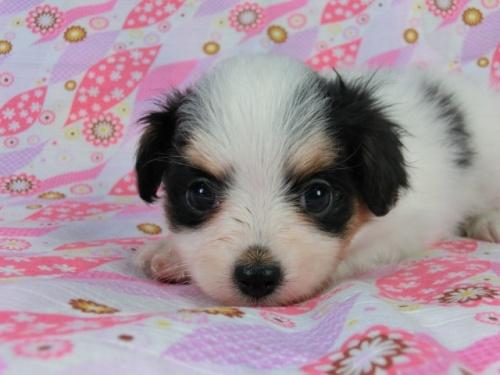パピヨンの子犬(ID:1244711400)の1枚目の写真/更新日:2017-03-10
