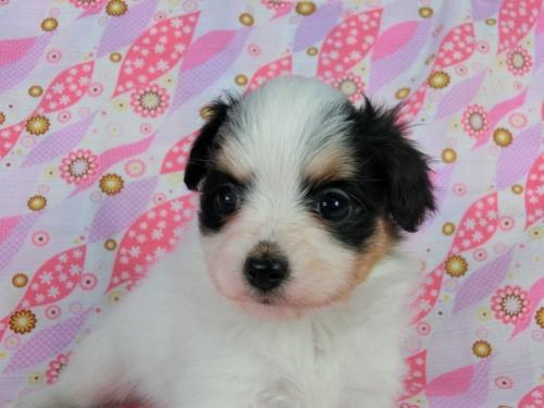 パピヨンの子犬(ID:1244711400)の2枚目の写真/更新日:2017-03-10