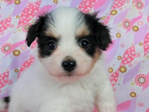 パピヨンの子犬(ID:1244711400)の3枚目の写真/更新日:2017-03-10