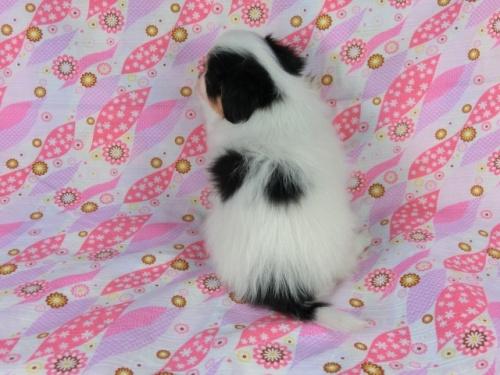 パピヨンの子犬(ID:1244711400)の4枚目の写真/更新日:2017-03-10