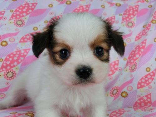 パピヨンの子犬(ID:1244711402)の2枚目の写真/更新日:2017-03-10