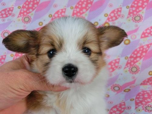 パピヨンの子犬(ID:1244711403)の1枚目の写真/更新日:2017-03-27