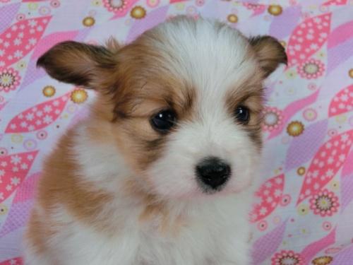 パピヨンの子犬(ID:1244711403)の2枚目の写真/更新日:2017-03-27