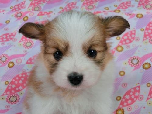 パピヨンの子犬(ID:1244711403)の3枚目の写真/更新日:2017-03-27