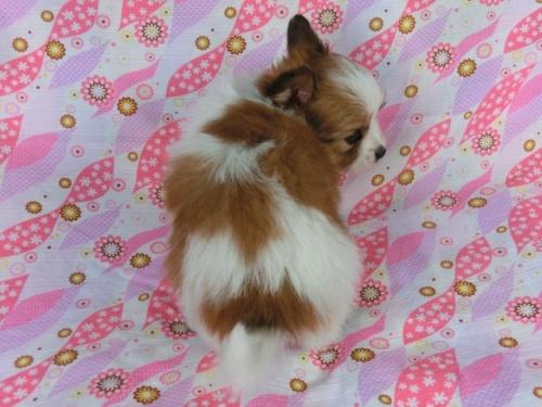 パピヨンの子犬(ID:1244711403)の4枚目の写真/更新日:2017-03-27