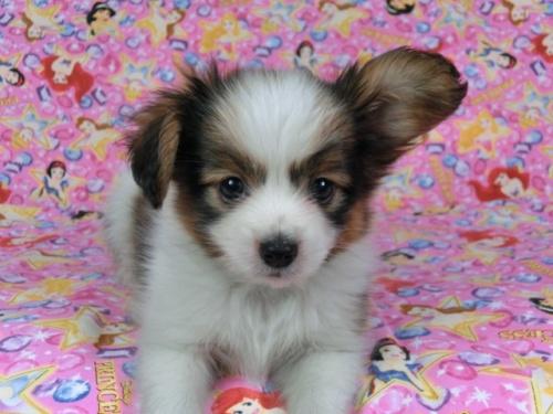 パピヨンの子犬(ID:1244711404)の2枚目の写真/更新日:2017-04-14