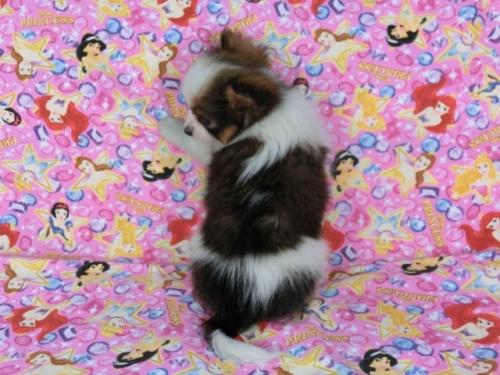 パピヨンの子犬(ID:1244711404)の4枚目の写真/更新日:2017-04-14