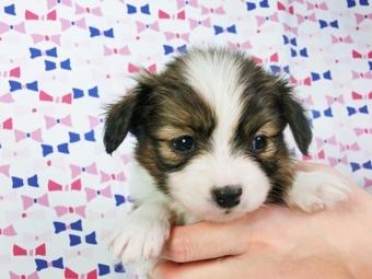 パピヨンの子犬(ID:1244711405)の1枚目の写真/更新日:2017-03-14