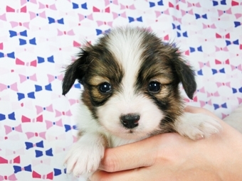 パピヨンの子犬(ID:1244711405)の2枚目の写真/更新日:2017-04-04
