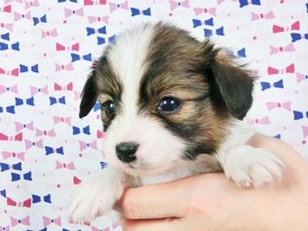 パピヨンの子犬(ID:1244711405)の3枚目の写真/更新日:2017-04-04