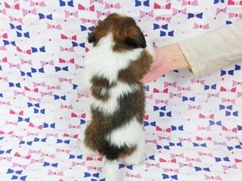 パピヨンの子犬(ID:1244711405)の4枚目の写真/更新日:2017-04-04