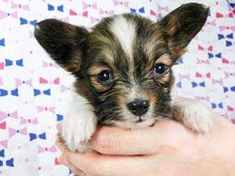 パピヨンの子犬(ID:1244711406)の1枚目の写真/更新日:2017-04-04