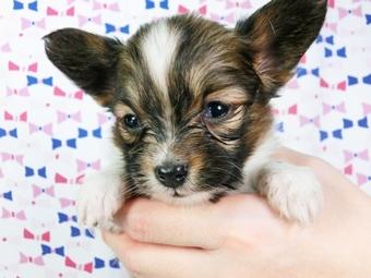 パピヨンの子犬(ID:1244711406)の2枚目の写真/更新日:2017-04-04
