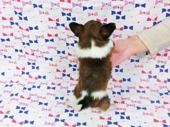 パピヨンの子犬(ID:1244711406)の4枚目の写真/更新日:2017-04-04