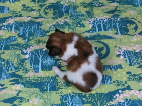 パピヨンの子犬(ID:1244711407)の4枚目の写真/更新日:2017-03-14