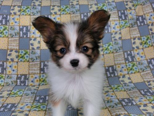 パピヨンの子犬(ID:1244711408)の1枚目の写真/更新日:2017-03-14