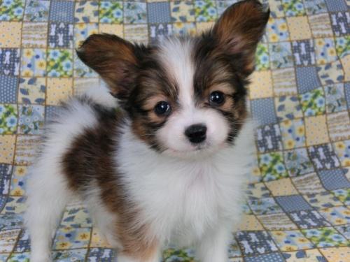 パピヨンの子犬(ID:1244711408)の2枚目の写真/更新日:2017-04-10
