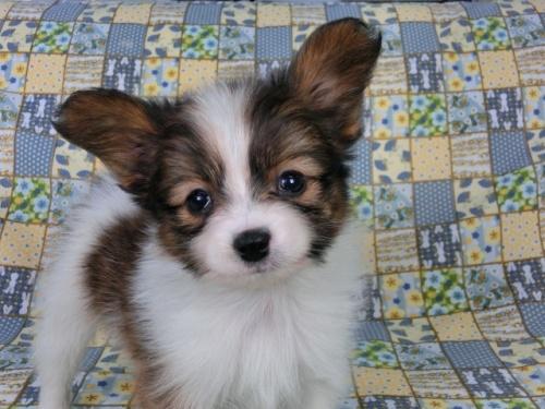 パピヨンの子犬(ID:1244711408)の3枚目の写真/更新日:2017-03-14