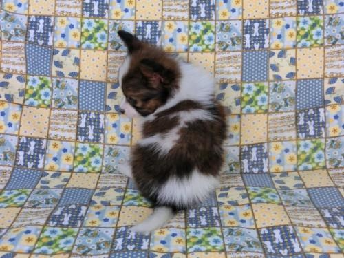 パピヨンの子犬(ID:1244711408)の4枚目の写真/更新日:2017-04-10