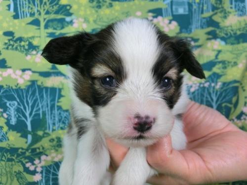 パピヨンの子犬(ID:1244711409)の1枚目の写真/更新日:2017-03-14