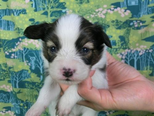 パピヨンの子犬(ID:1244711409)の2枚目の写真/更新日:2017-03-14