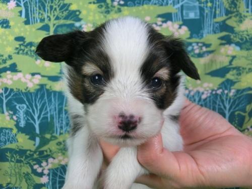 パピヨンの子犬(ID:1244711409)の3枚目の写真/更新日:2017-03-14