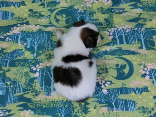 パピヨンの子犬(ID:1244711409)の4枚目の写真/更新日:2017-03-14
