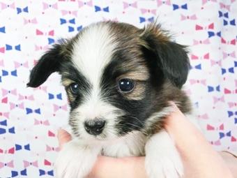 パピヨンの子犬(ID:1244711410)の1枚目の写真/更新日:2017-04-04