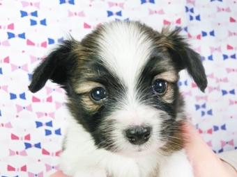 パピヨンの子犬(ID:1244711410)の3枚目の写真/更新日:2017-04-04