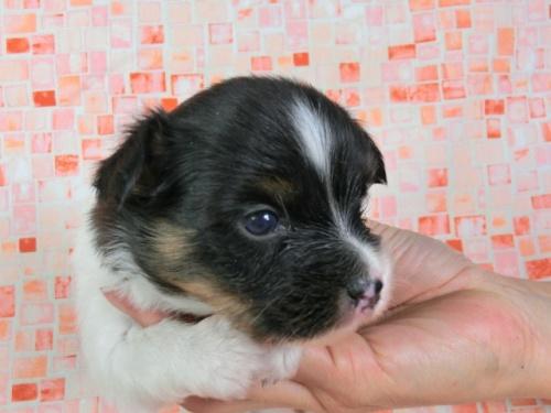 パピヨンの子犬(ID:1244711411)の1枚目の写真/更新日:2017-03-27