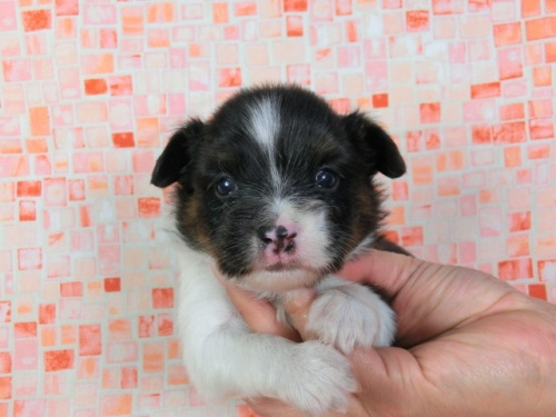 パピヨンの子犬(ID:1244711411)の2枚目の写真/更新日:2017-03-27