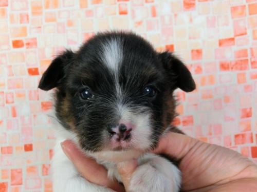 パピヨンの子犬(ID:1244711411)の3枚目の写真/更新日:2017-03-27