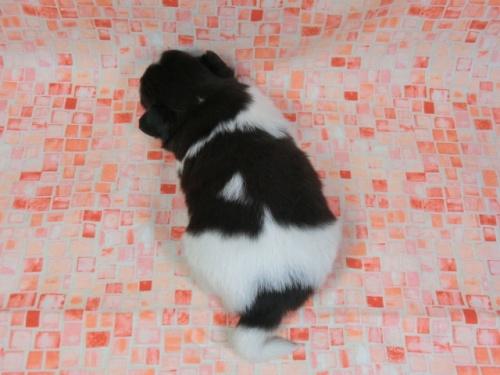 パピヨンの子犬(ID:1244711411)の4枚目の写真/更新日:2017-03-27