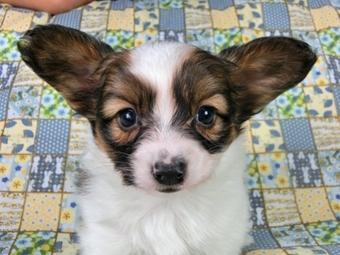 パピヨンの子犬(ID:1244711412)の2枚目の写真/更新日:2017-03-27