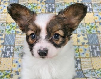 パピヨンの子犬(ID:1244711412)の3枚目の写真/更新日:2017-03-27